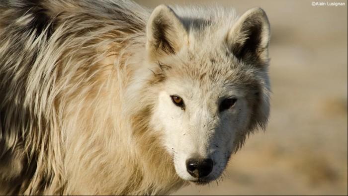 ダーウィンが来た! 密着!幻の白いオオカミ