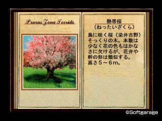 熱帯桜(ねったいざくら)デザーテッドアイランド