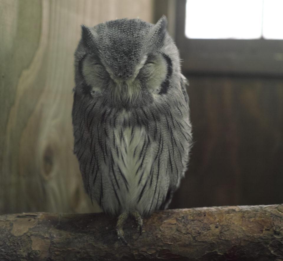 富士花鳥園 アフリカオオコノハズク