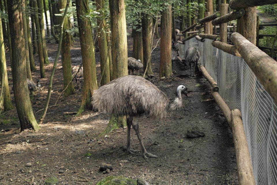 富士花鳥園 エミュー