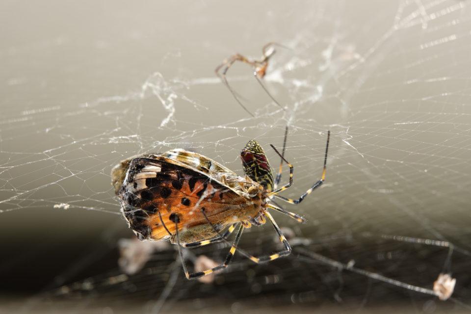 同居していたジョロウグモが消えた