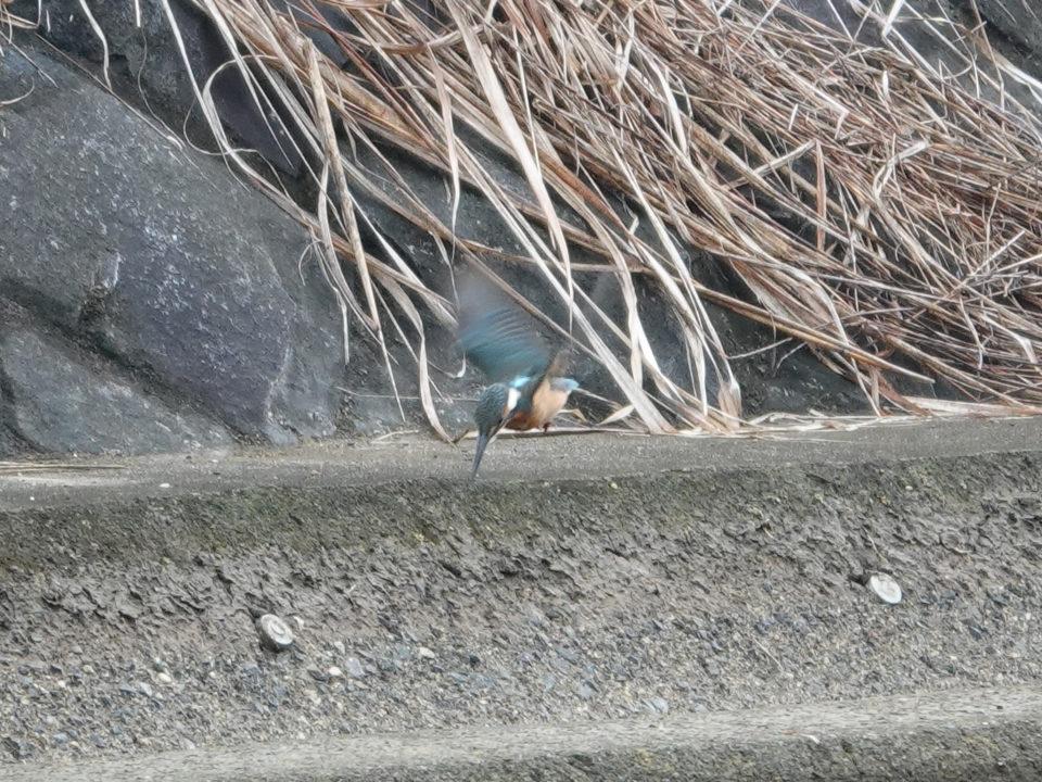山梨県貢川で探鳥(カワセミ・コサギなど)