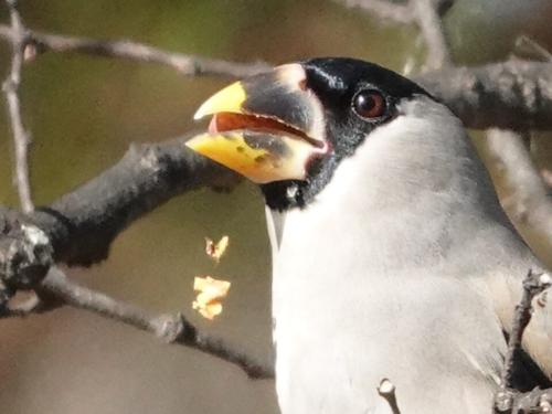 木の実を食べ散らかすイカル