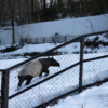 雪のバク(多摩動物公園)