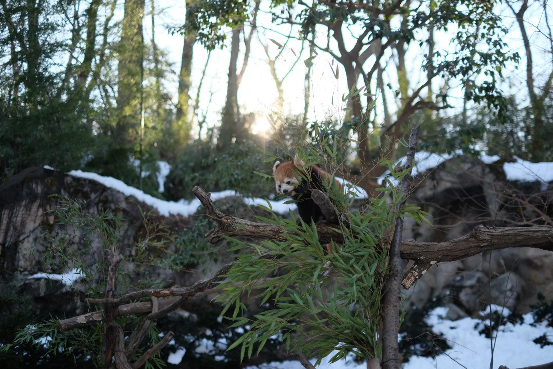 雪のバク (多摩動物公園)