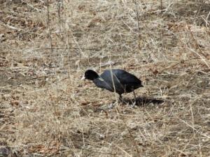 山中湖探鳥 ミコアイサを見にいったけど、何故かアオゲラに遭遇!