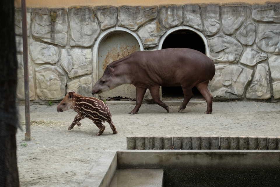 遊亀公園附属動物園でバクの赤ちゃん(ユウキくん)を撮影!