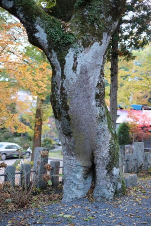 山中諏訪神社 木