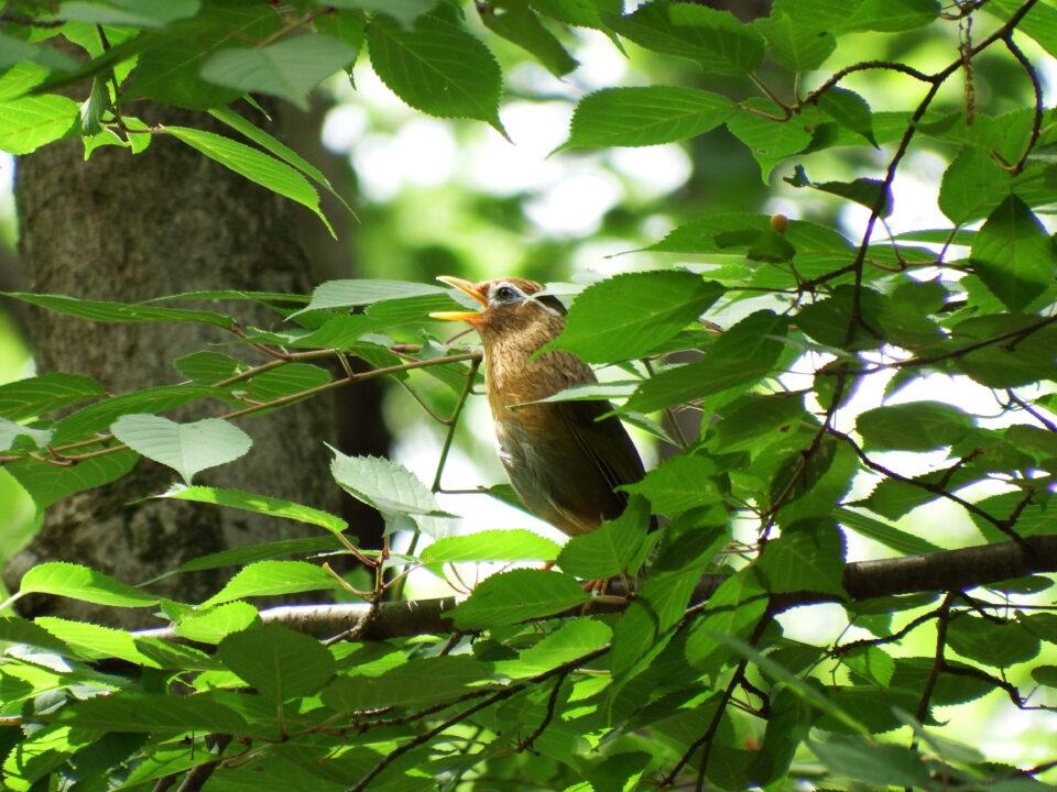いい声で鳴く鳥 ガビチョウ(外来種)