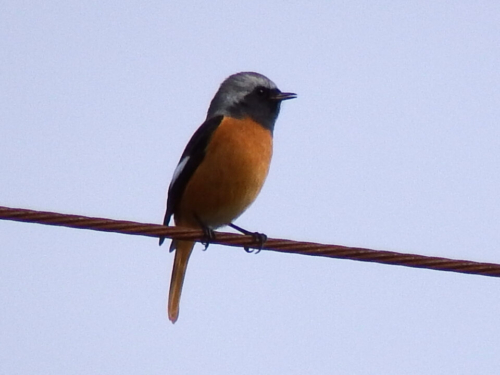 山梨県 貢川で野鳥撮影(カワセミ、キセキレイ、セグロセキレイ等)