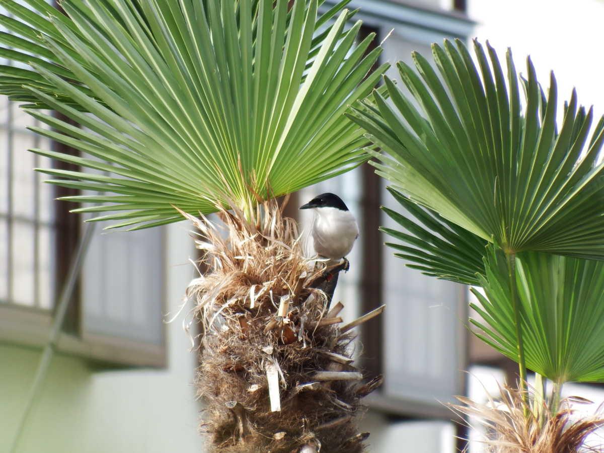 シュロを巣材にするオナガ