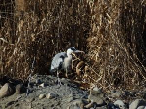 山梨県甲府市 荒川 探鳥(ジョウビタキ・モズ・ホオジロ)