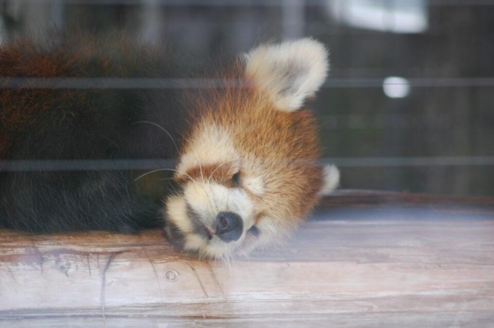 遊亀公園附属動物園 レッサーパンダ クゥ