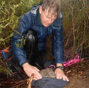 ギルバートネズミカンガルー 絶滅から再発見、キノコが主食の有袋類!