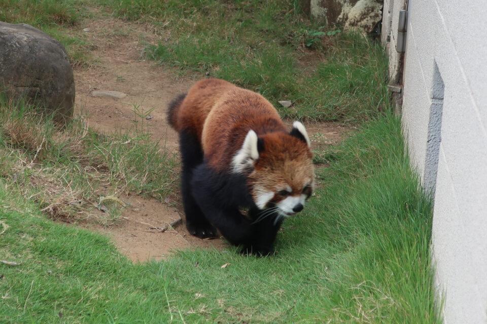 遊亀公園附属動物園のレッサーパンダ クゥとホクト、安らかに