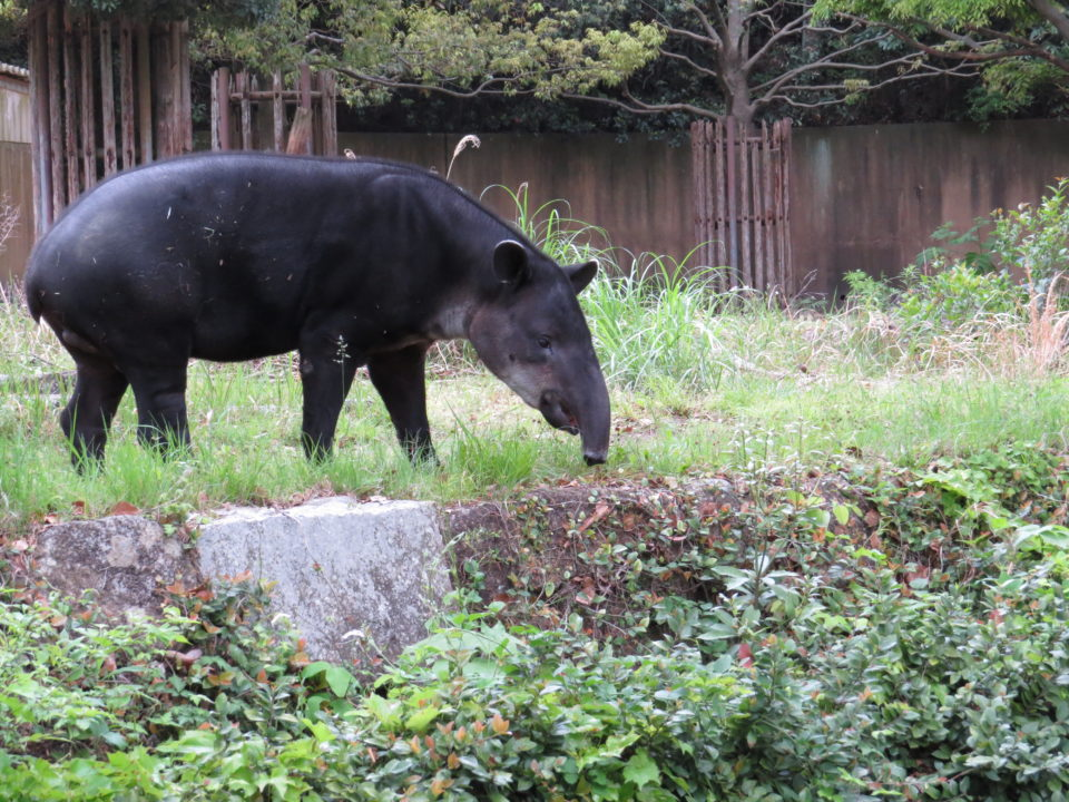 横浜市立金沢動物園のベアードバク・アグアくん