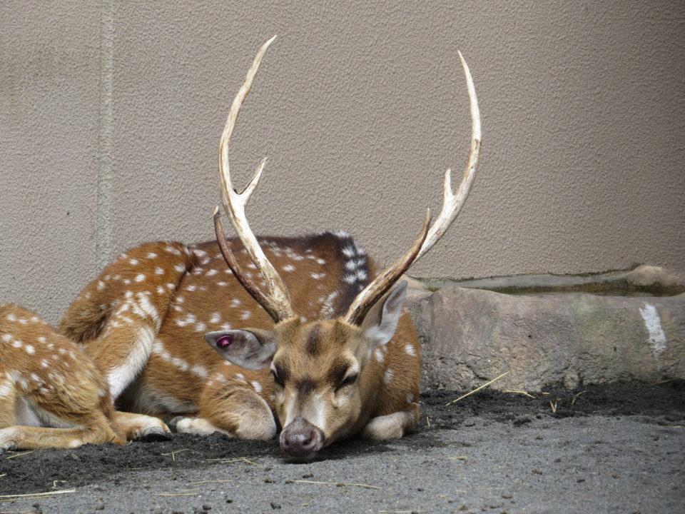 日本平動物園 アクシスジカ