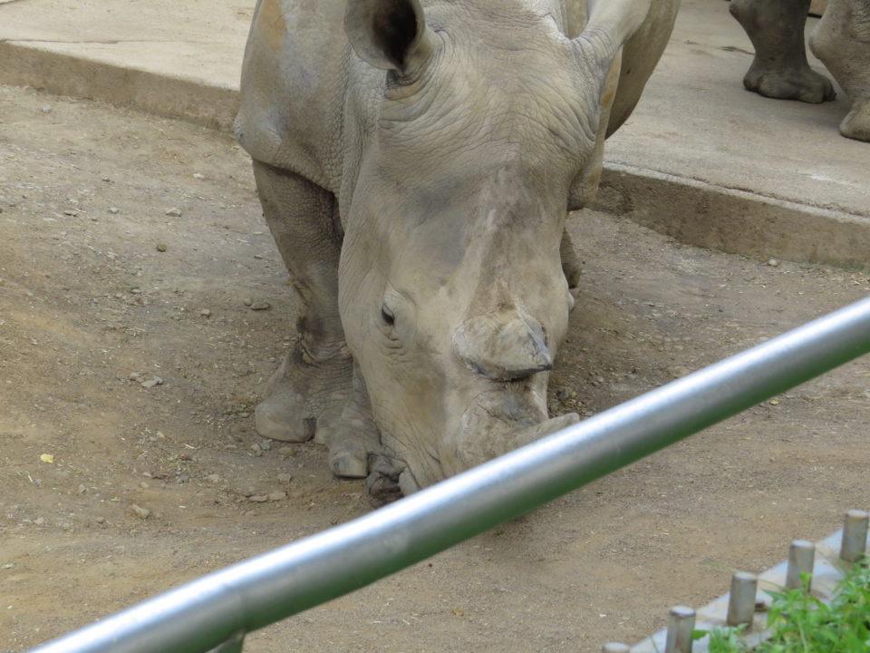 日本平動物園 シロサイ