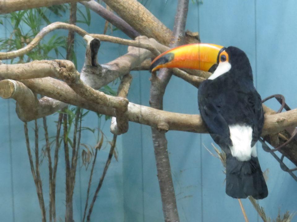 日本平動物園 オニオオハシ