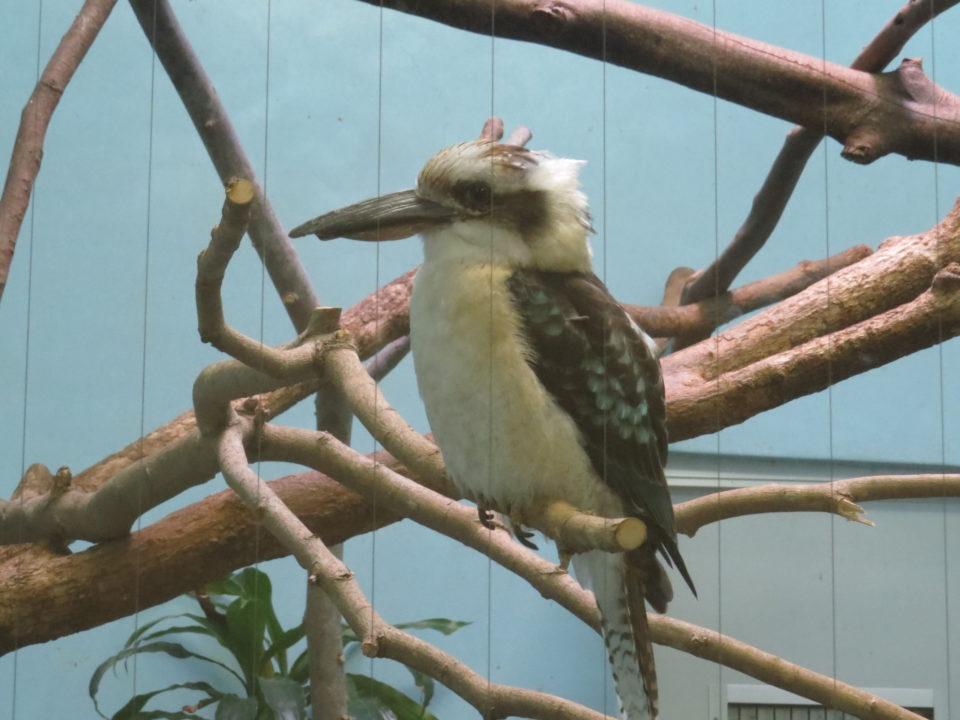日本平動物園 ワライカワセミ