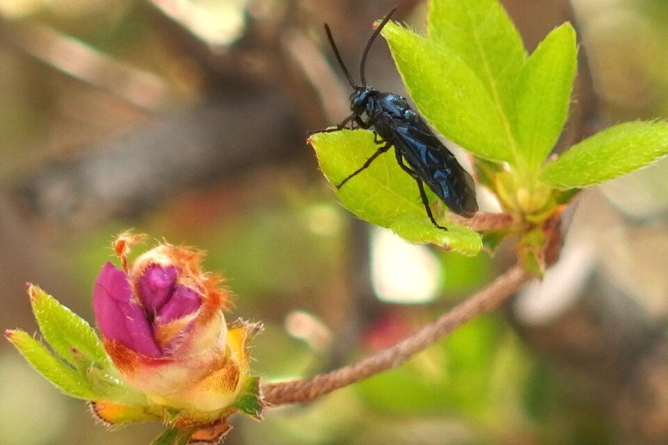 ルリチュウレンジというハチ