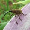 金川の森で昆虫観察 ナナフシ、ハイイロチョッキリ、ニホンカワトンボ