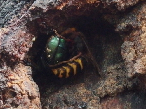 スズメバチ アオカナブン 金川の森