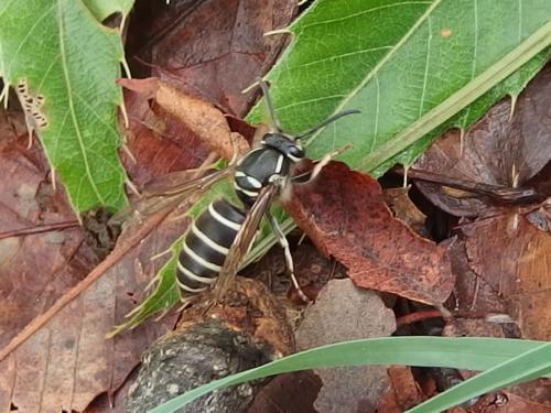 クロスズメバチ 金川の森