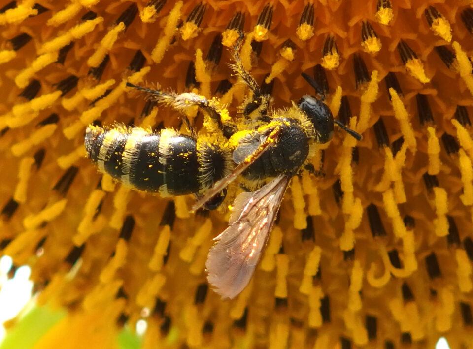 ヒメハラナガツチバチとヒマワリ