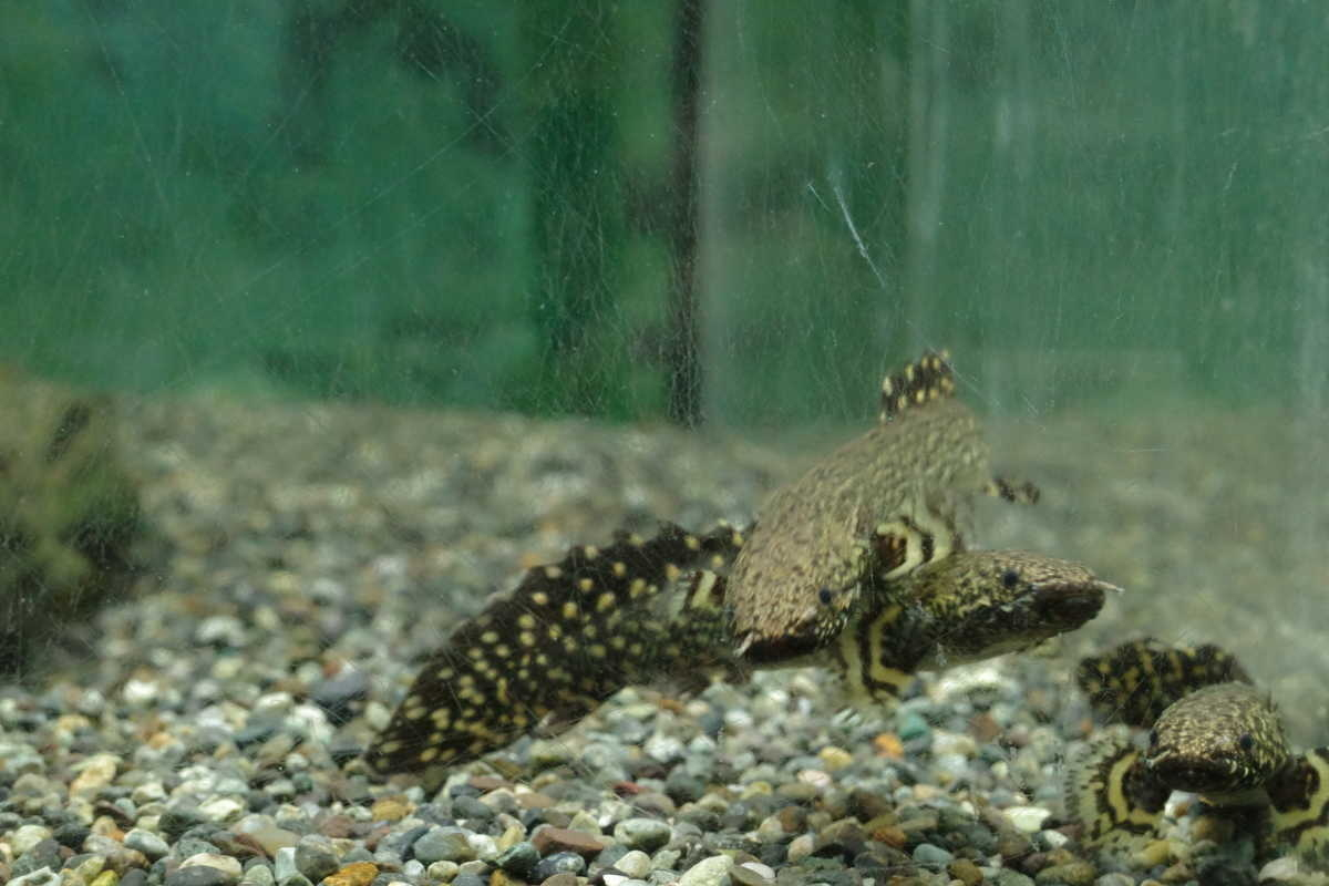GRIIIで撮る熱帯魚