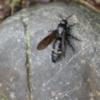 キオビツチバチ メスはお尻に黄色の斑点。