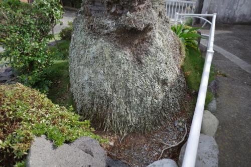 龍華寺 ナツメヤシ