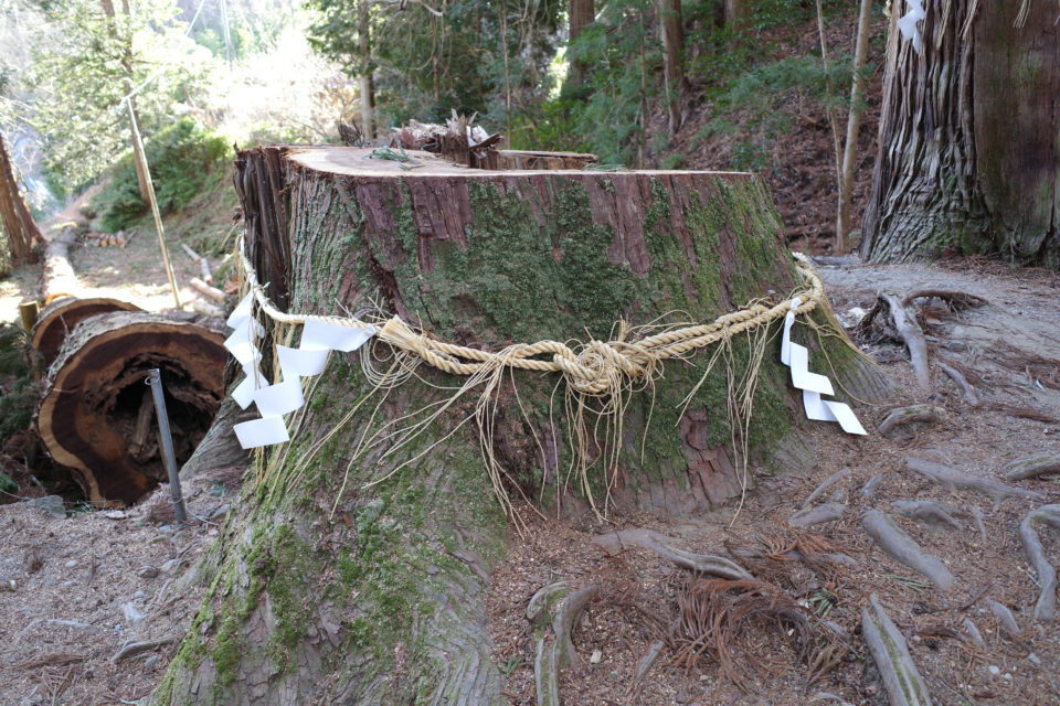 金櫻神社 杉 スギ 大木