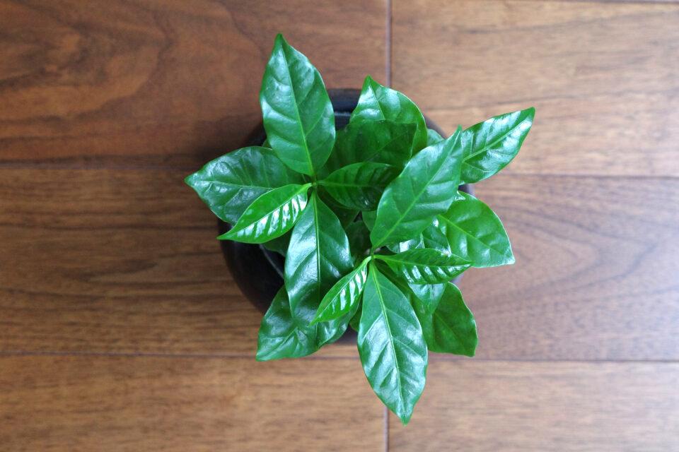 珈琲問屋で買ったコーヒーの木