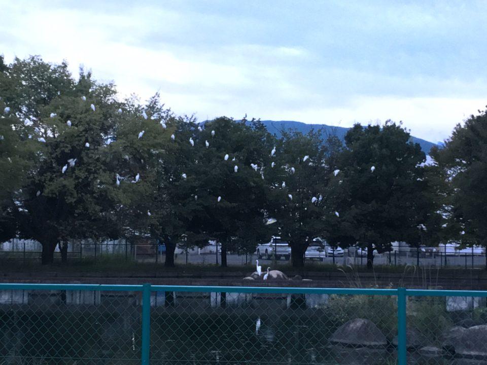 山梨県昭和浄水場のシラサギの減少